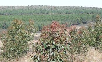 El crecimiento forestal en Uruguay se gestó tras una ley que acaba de cumplir 30 años.<br>
