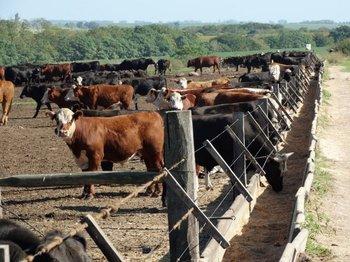 El precio del ganado se mantiene firme.