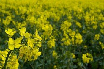 ALUR procura triplicar el uso de canola en su mix de materias primas para producir biodiesel.<br>