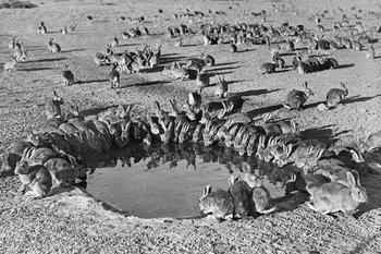 Australia llegó a tener miles de millones de conejos salvajes que devastaron las zonas rurales.