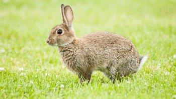 Aunque parezca un animal inofensivo, el conejo se transformó en la peor amenaza de la historia a la agricultura de Australia.