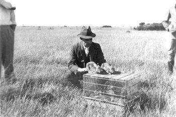 En esta imagen de 1937 se ve a un funcionario liberando conejos infectados con mixomatosis en la primera prueba que se realizó en Wardang Island, Australia Meridional.