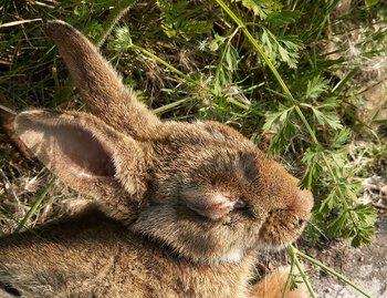 Un conejo enfermo de mixomatosis. El virus, que causa tumores, arrasó con estos animales.