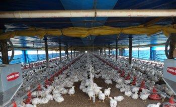 Informaron que las aves con newcastle en EEUU son de traspatio y no están en el circuito comercial