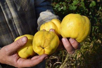 Una fruta de bajo o nulo consumo fresco pero ideal para su procesamiento industrial.<br>
