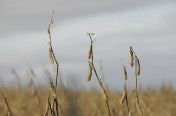 Las pérdidas en soja a raíz de la sequía fueron estimadas por ARU en US$ 856 millones
