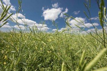 La siembra de carinata en la actual campaña de cultivos de invierno concluirá en los próximos días