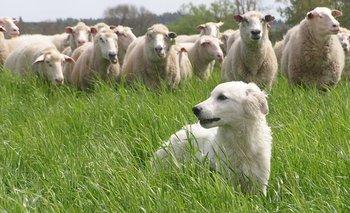 En Canelones, de la mano de otros manejos y tecnologías, el Maremma ayudó a potenciar la producción ovina.