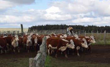 La proporción de vacas de cría y terneros en el rodeo nacional supera el 60%.<br>