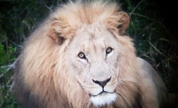 León de la reserva de Sibuya