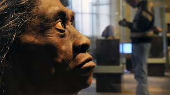 Los científicos se preguntan si el ancestro del nullHobbitnull (recreado en la foto) no fue más bien un australopiteco, un pariente más antiguo y parecido a un mono que deambulaba por África