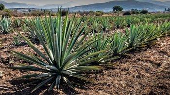 Los murciélagos son vitales para la salud de la planta del agave, de la que se produce el tequila y el mezcal.