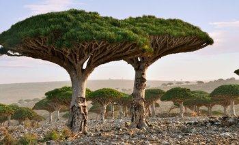 El árbol de la sangre de dragón es una de las especies más icónicas de Socotra.