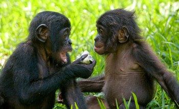 Si la anatomía de la lengua y la laringe es similar en los primates, el gran misterio era hasta ahora por qué solamente los seres humanos hablan, señaló el científico británico Jacob Dunn.