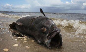 La marea roja afecta el sistema nervioso de los peces.