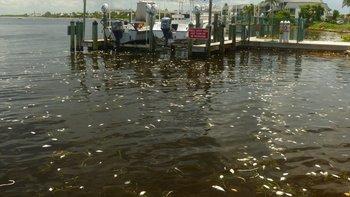 Miles de peces han muerto a causa de la marea roja.