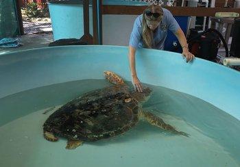 En el SCCF estudian cómo la marea roja afecta a las tortugas y otras especies marinas.