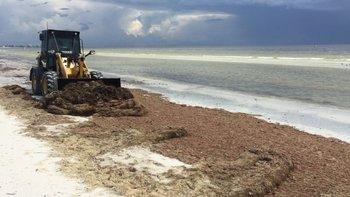 Las playas de Fort Myers están invadidas con otro tipo de alga que se reproduce gracias a que los organismos que la controlan mueren por causa de la marea roja.