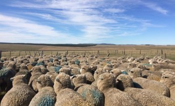 Los datos provienen de 160 mil ovejas de casi todo el país.