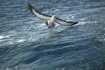 Los Albatros Aves De Respeto