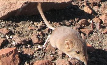 Aunque no parezca, el Macroscelides micus es pariente de los elefantes. Fue descubierto en el desierto de Namib, en Namibia, África.