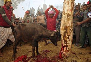 Sacrificios de animales por cuestiones religiosas en Nepal