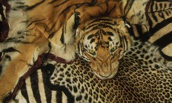 Pieles de tigre y otros animales confiscadas en el aeropuerto de Heathrow, Reino Unido