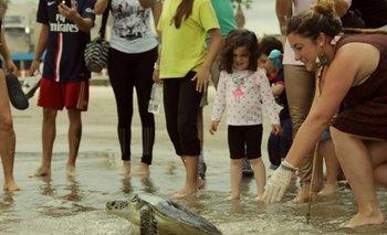Una de las tortugas marinas afectadas por la Rapana venosa siendo liberada en Piriápolis, luego de su recuperación