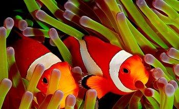 En la realidad, el pez payaso mide unos 11 centímetros, es carnívoro y, en estado salvaje, vive de 6 a 10 años