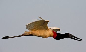 Un Jabirú vuela sobre el río Paraguay, en Cáceres
