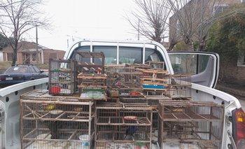 Se incautaron unos 90 pájaros, de los cuales dos estaban muertos