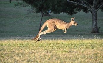 Los canguros rojos pueden llegar a pesar alrededor de 90 kilos y moverse a una velocidad de 56 km/h. En un salto, pueden llegar a avanzar 8 metros de largo y casi dos metros de alto.