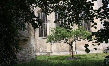 Un supuesto sucesor del árbol del que cayó la manzana que inspiró a Newton en Cambridge