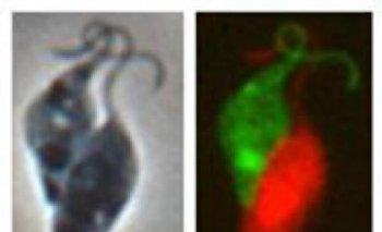 Los investigadores pintaron de colores a los microbios para identificar a cada individuo. Al final del apareamiento surgían células de dos colores
