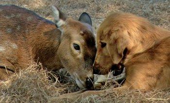 Otra prueba de amistad entre un venado (Amy) y un perro (Ransom), solo que en este caso Amy fue quien hizo de madre sustituta