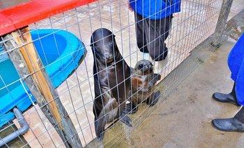 Los últimos lobos marinos fueron reinsertados el sábado en la Isla de Lobos