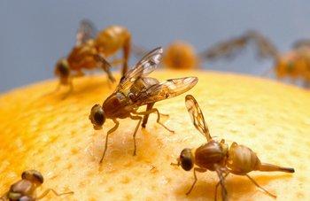 "Moscas de la fruta (""Drosophila melanogaster"")."