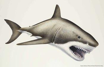 Ilustración del tiburón que llegaba a alcanzar 20 metros de largo y tener 100 toneladas de peso