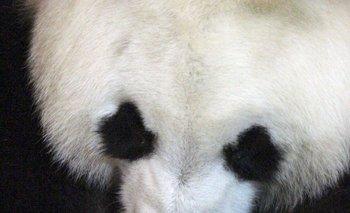 En el zoológico de Madrid, Hua Zui Ba, la hembra de oso panda gigante que dio a luz el viernes, con su cachorro