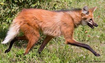 Las patas largas y delgadas del aguará guazú le permiten moverse a través de la maleza y pastizales. Su andar es particular y característico de la especie
