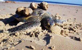 """Tortuga Verde varada en Playa Verde, Maldonado, con caracoles """"Rapana venosa"""" adheridos al caparazón"""