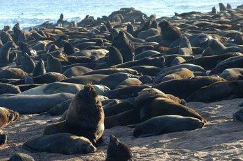 """El león marino sudamericano (Otaria Flavescens) tiene un hocico aplanado, ancho y corto. Los adultos presentan una melena de pelo más rubio en el cuello, por lo que también se los llama """"pelucas"""". En Uruguay, habitan las islas de Torres, Marco, de Lobos, Verde y de la Coronilla. Según la UICN, el estado de preservación de esta especie es de """"preocupación menor"""" (2006)."""