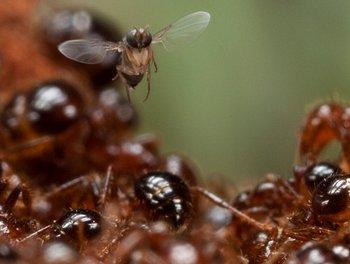 Las moscas argentinas lucharán con las hormigas estadounidenses