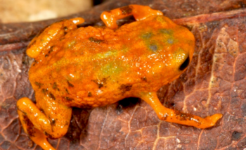 <i>Brachycephalus mariaetereza</i>