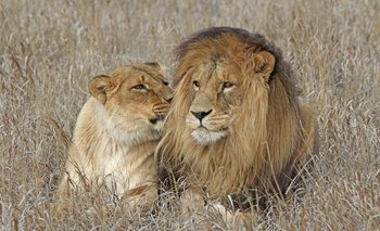 Sol y Luna, los leones del zoológico de Paysandú, en The Wild Animal Sanctuary